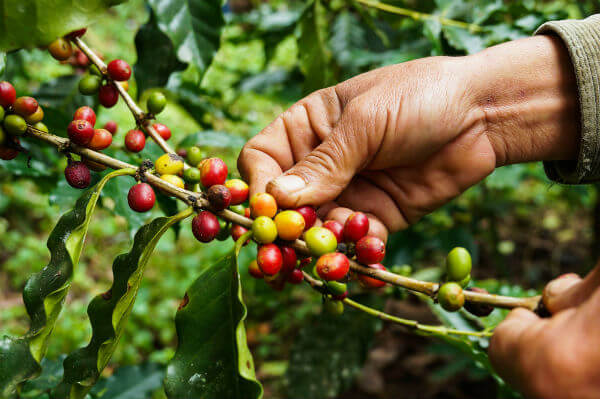 growing coffee beans