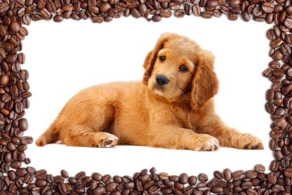 can dogs eat coffee beans